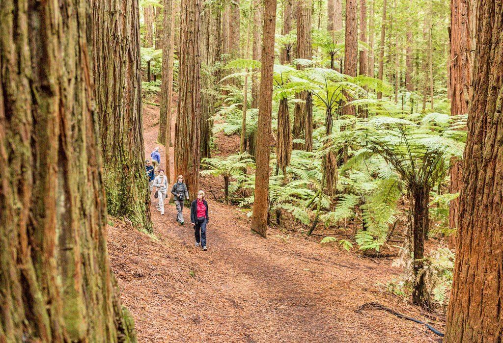 Rotorua_Sequoia